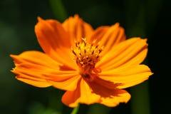 Flor anaranjada, amarilla del campo con una abeja Foto de archivo libre de regalías