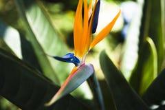 Flor anaranjada brillante con el pétalo azul en el centro en fondo verde de la hoja fotografía de archivo libre de regalías