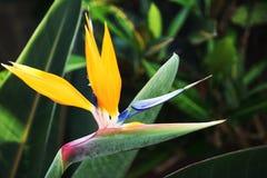 Flor anaranjada brillante con el pétalo azul en el centro en fondo verde de la hoja foto de archivo
