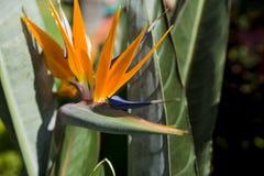 Flor anaranjada brillante con el pétalo azul en el centro en fondo verde de la hoja fotos de archivo