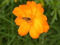 Flor anaranjada brillante del cosmos del color con una abeja de la miel Fotos de archivo