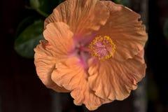 Flor anaranjada brillante del hibisco fotografía de archivo