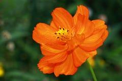 Flor anaranjada brillante del sulphureus de Cosmea- Cosmea Imagen de archivo libre de regalías
