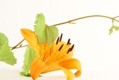 Flor anaranjada clara del lirio Imagen de archivo