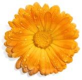 Flor anaranjada con gotas del agua Imagen de archivo
