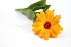 Flor anaranjada con las gotas de rocío Imagen de archivo