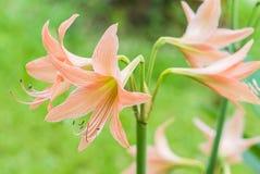 Flor anaranjada de Amaryllis Fotos de archivo libres de regalías