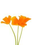 Flor anaranjada de la amapola Imagenes de archivo