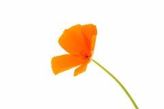 Flor anaranjada de la amapola Fotografía de archivo libre de regalías