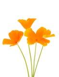 Flor anaranjada de la amapola Fotos de archivo