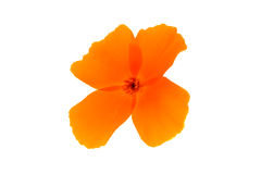 Flor anaranjada de la amapola Fotos de archivo libres de regalías