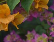 Flor anaranjada de la buganvilla Foto de archivo