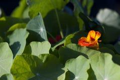 Flor anaranjada de la capuchina Imagen de archivo libre de regalías