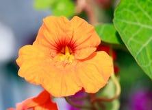 Flor anaranjada de la capuchina en la plena floración Foto de archivo libre de regalías