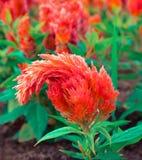 Flor anaranjada de la cresta de gallo Imagen de archivo libre de regalías