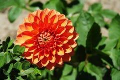 Flor anaranjada de la dalia Fotos de archivo libres de regalías