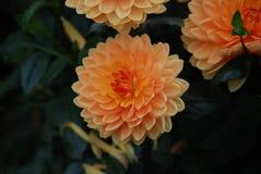 Flor anaranjada de la dalia - símbolo de la elegancia, de la fuerza interna, del cambio de la creatividad y de la dignidad imagenes de archivo
