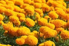Flor anaranjada de la maravilla Fotografía de archivo