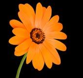 Flor anaranjada de la maravilla de pote en la plena floración aislada Fotografía de archivo libre de regalías