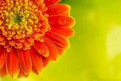 Flor anaranjada de la margarita del gerbera en fondo amarillo Fotos de archivo