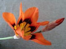 Flor anaranjada de la primavera Fotos de archivo libres de regalías