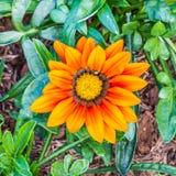 Flor anaranjada de los splendens del Gazania Fotografía de archivo libre de regalías