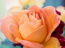 Flor anaranjada de Rose Fotos de archivo