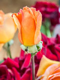 Flor anaranjada de Rose Fotografía de archivo libre de regalías