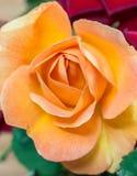 Flor anaranjada de Rose Fotografía de archivo