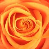 Flor anaranjada de Rose Imagen de archivo libre de regalías