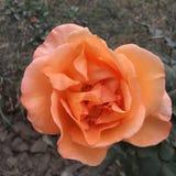 Flor anaranjada de Rose Imágenes de archivo libres de regalías