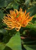 Flor anaranjada de una dalia con un saltamontes verde y plantas verdes fotografía de archivo