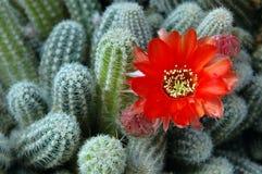 Flor anaranjada del cacto. Imagen de archivo libre de regalías