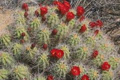 Flor anaranjada del cactus del montón Fotos de archivo libres de regalías
