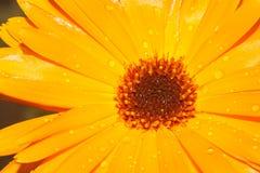 Flor anaranjada del Calendula con descensos de rocío foto de archivo libre de regalías