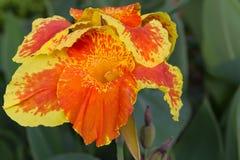 Flor anaranjada del canna Fotografía de archivo libre de regalías
