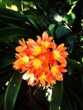 Flor anaranjada del caramelo en los jardines de la luz del sol Foto de archivo