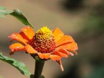 Flor anaranjada del color de la primavera foto de archivo