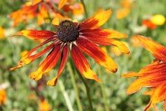 Flor anaranjada del coneflower o del hirta del Rudbeckia Imagen de archivo libre de regalías