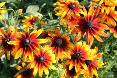 Flor anaranjada del coneflower o del hirta del Rudbeckia Fotografía de archivo