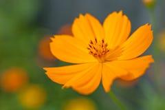 Flor anaranjada del cosmea Foto de archivo