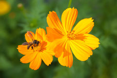 Flor anaranjada del cosmea con la abeja Fotos de archivo libres de regalías
