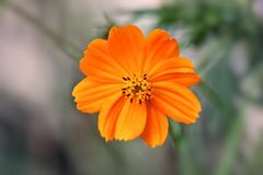 Flor anaranjada del cosmo imagen de archivo libre de regalías
