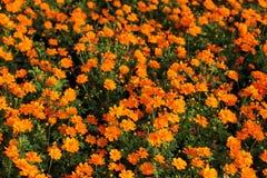Flor anaranjada del cosmos Fotografía de archivo libre de regalías