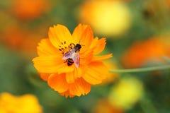 Flor anaranjada del cosmos con la abeja Imagen de archivo