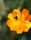 Flor anaranjada del cosmos con la abeja Foto de archivo libre de regalías