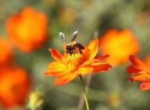Flor anaranjada del cosmos con la abeja Fotos de archivo