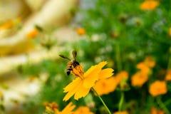 Flor anaranjada del cosmos con los insectos Foto de archivo libre de regalías