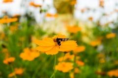 Flor anaranjada del cosmos con los insectos Fotografía de archivo libre de regalías