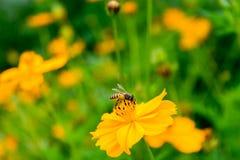 Flor anaranjada del cosmos con los insectos Imágenes de archivo libres de regalías